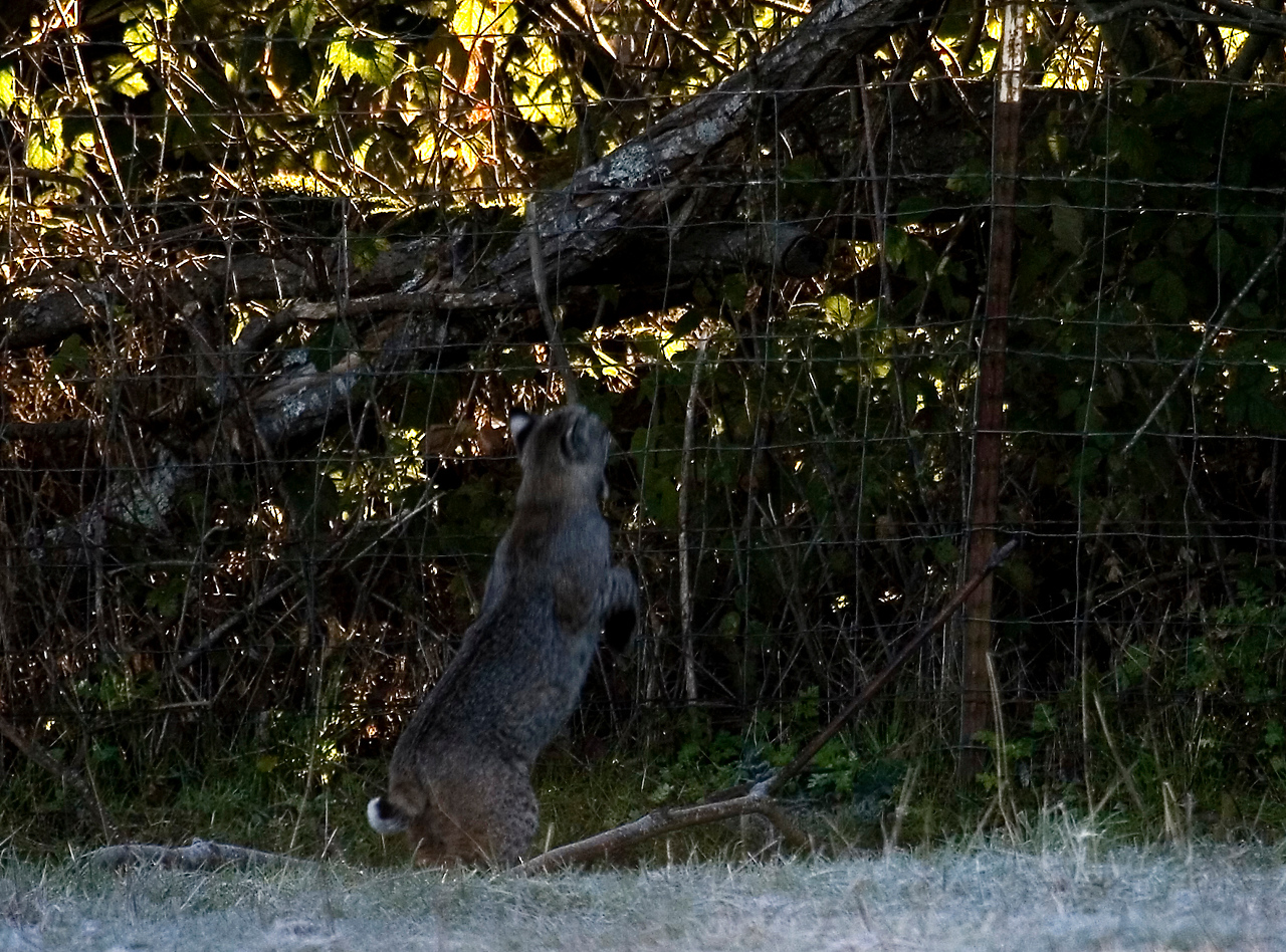 Bobcat getting ready to jump up to the tree limb, early morning, Olema