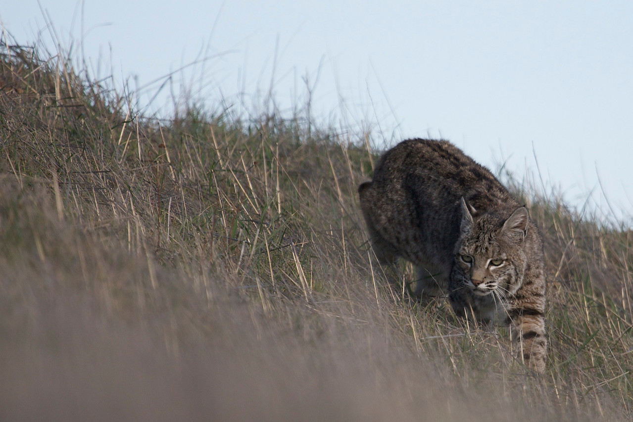 Bobcat, Mt. Tamalpais, 12.29.08