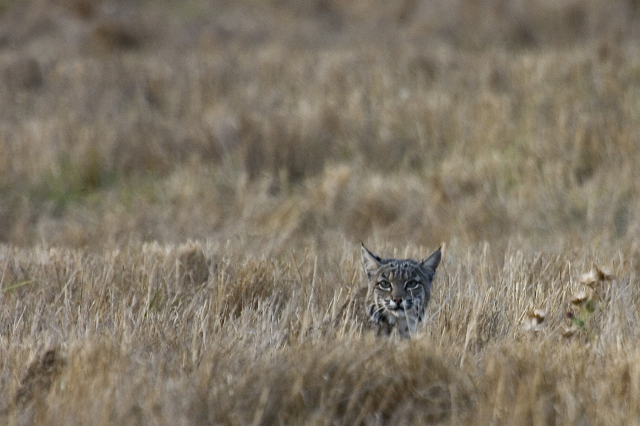 Bobcat, Point Reyes, 09.16.07