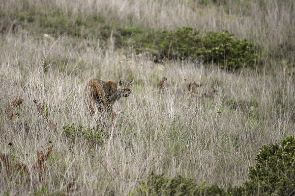 Bobcat, Marin Headlands