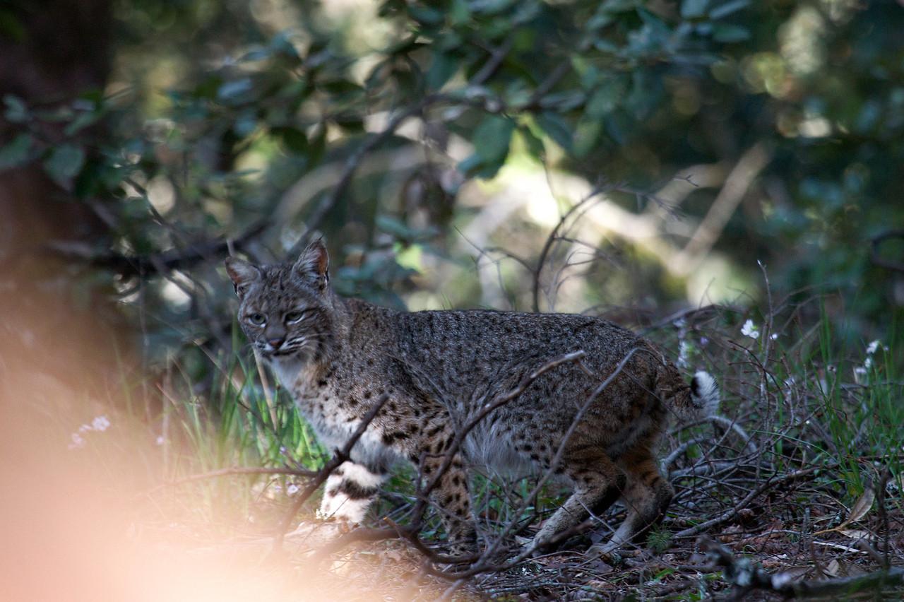 Bobcat, Mt. Tam. 03.18.09