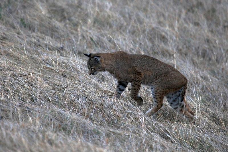 Bobcat watching-listening for prey