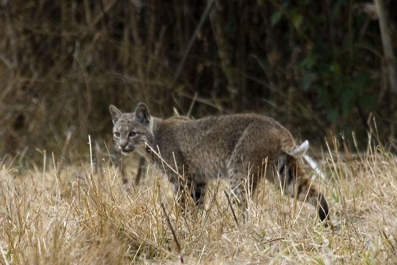 Bobcat, Point Reyes, 09.09.07