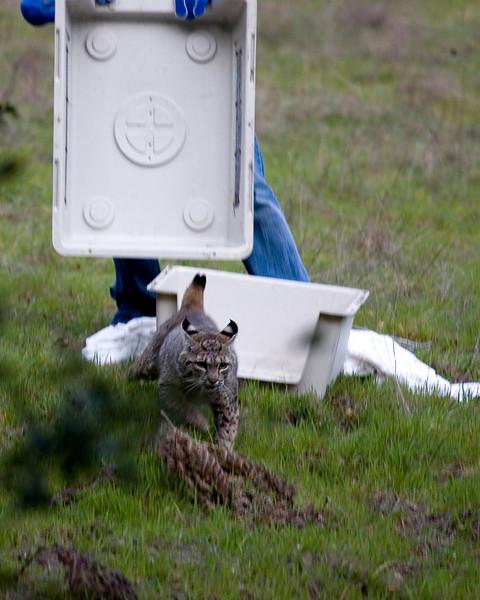 Bobcat release, 02.26.08, Wildcare