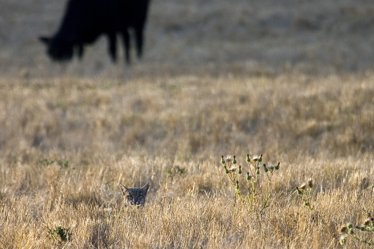 Bobcat and Cow, Point Reyes, 09.16.07