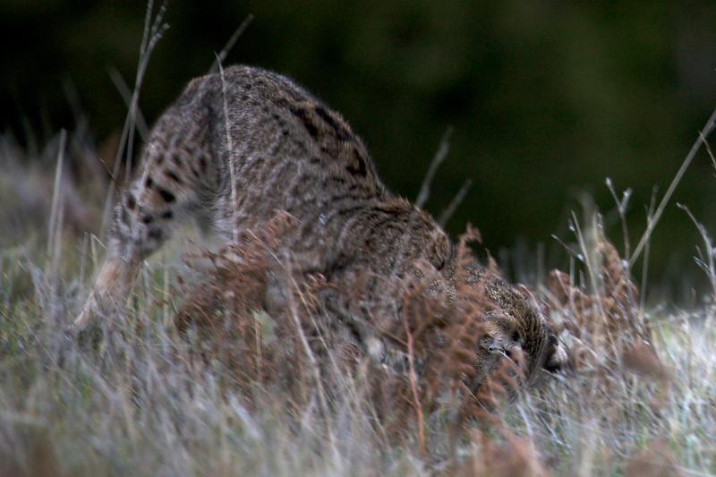 Bobcat hunting, Mt. Tamalpais