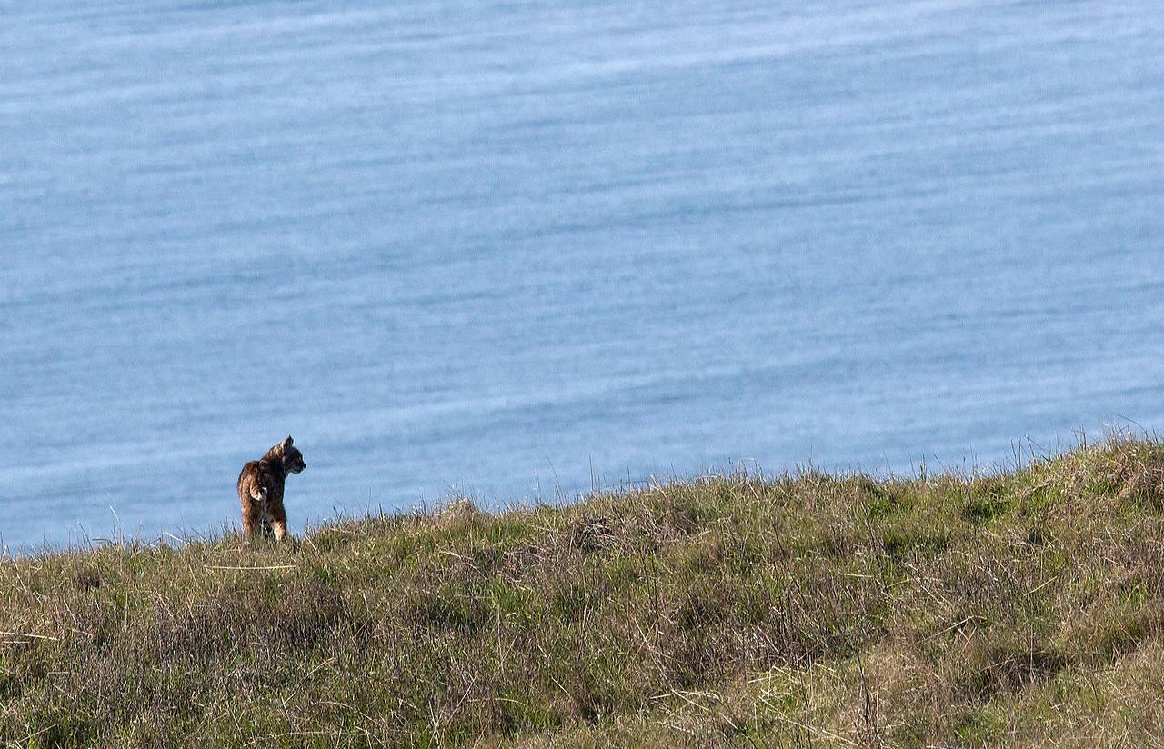 Bobcat and ocean, Coastal trail, Mt. Tam, 01.03.09