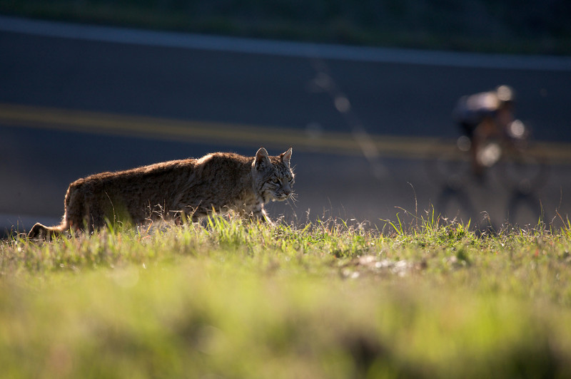 Bobcat and cyclist