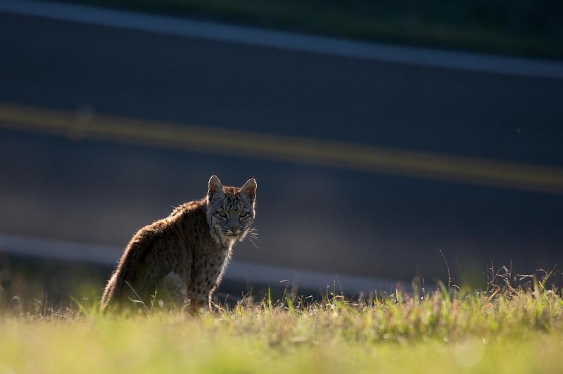 Bobcat and road