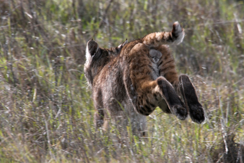 Definitely a male Bobcat today, 01.04.09