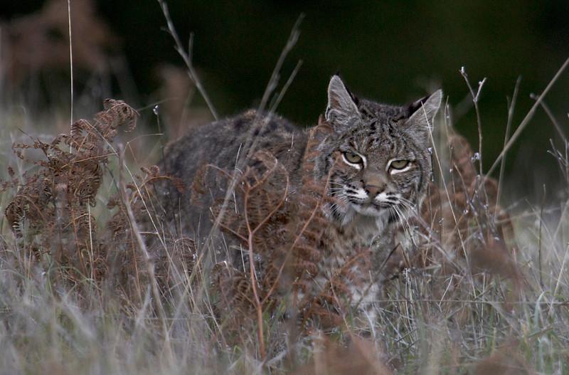 Bobcat, Mt. Tamalpais