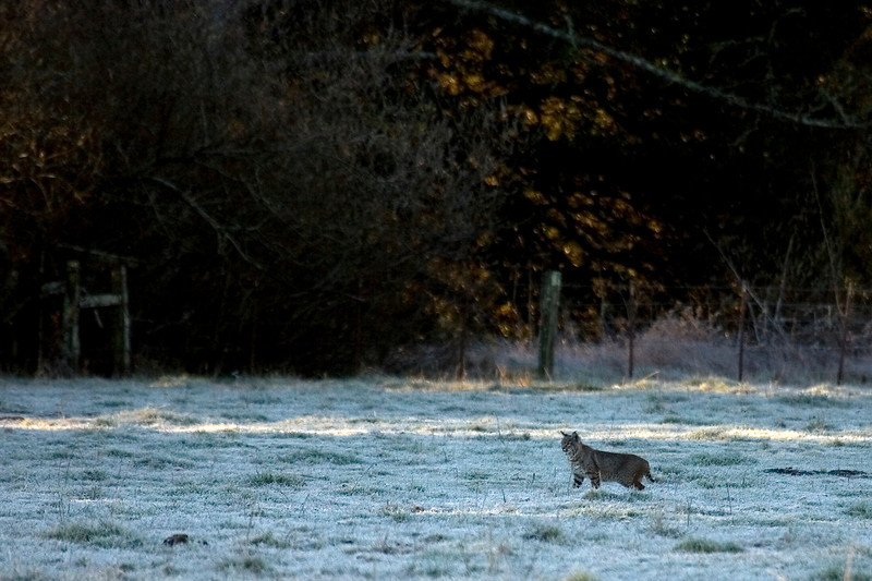 Bobcat with early morning frost along Rift zone trail, Olema