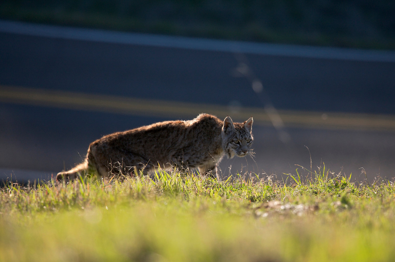 Bobcat and road