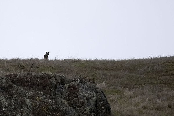 Midday Bobcat on ridgeline, Marin Watershed