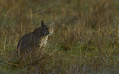 early morning bobcat, Pt. Reyes