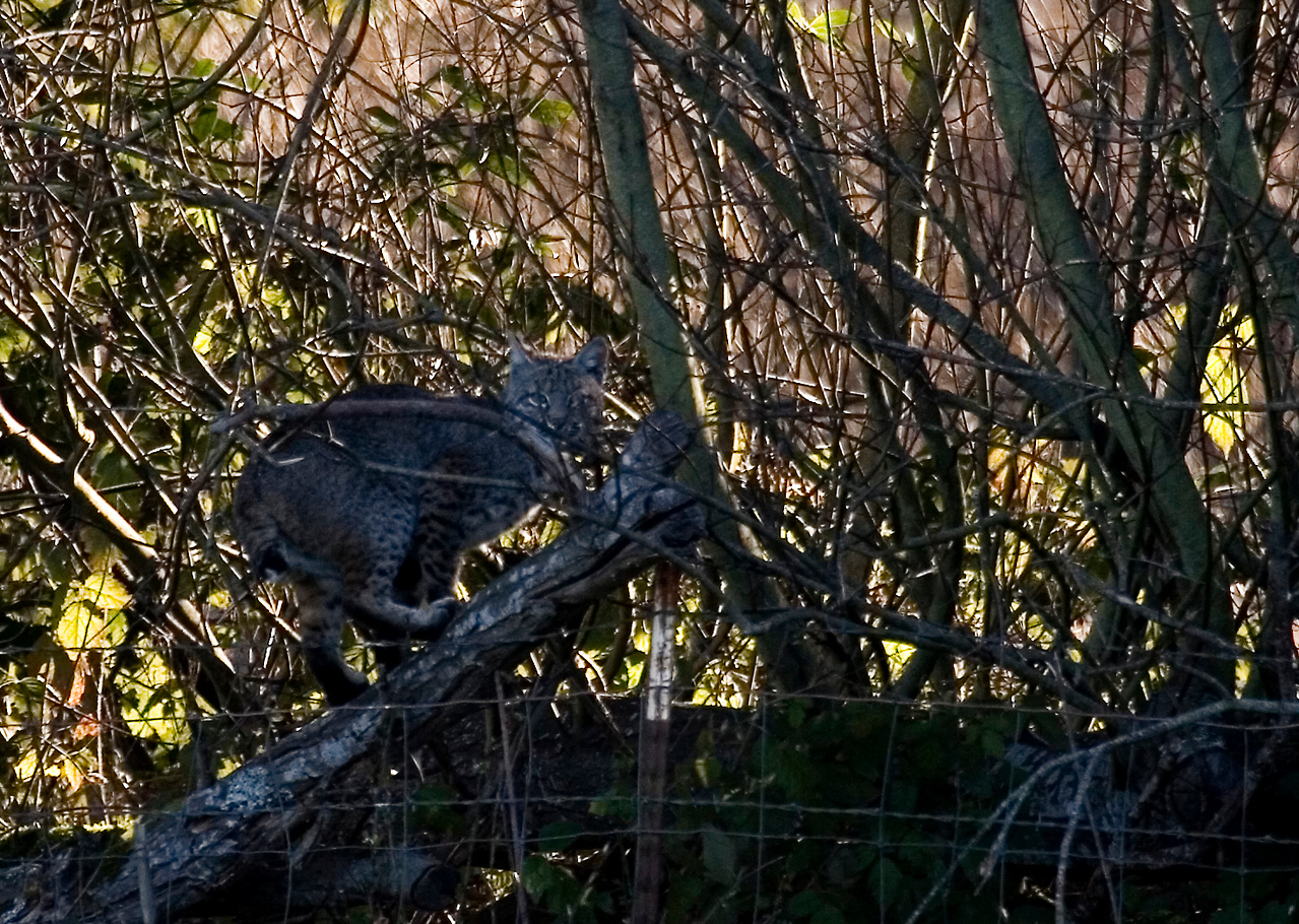 Bobcat after it jumped up to the tree limb, early morning, Olema