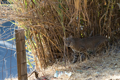The bobcat that was trying to get into the squirrel enclosure.  This bobcat was on top of the squirrel enclosure when I arrived to photograph the squirrels. He jumped off enclosure as we approached and then hovered near fence line but soon disappeared. He was a male bobcat.