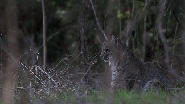 Bobcat hunting - Lynx rufus male