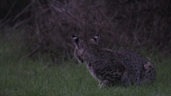 """Bobcat - Lynx rufus - male   A very brief clip. It was very, very dark and I could barely see the bobcat but I'm glad I stuck around and turned on the video. For a brief moment the bobcat began calling! The background sound is a rushing stream which was kind of loud but I'm glad the camera picked up the sound of the cat calling. The cat continued down the trail spraying, marking and disappeared into the ravine and began calling again. It was a beautiful way to begin the night.   In the literature I am reading it states that bobcat mating has been documented as early as November and December and as late as August and September. But the peak season appears to be from February through April. Solitary and territorial by nature, the biggest challenge for bobcat mating is for males and females to find each other over miles of terrain. Bobcats communicate using visual and olfactory signals and the most common of these is scent marking. Bobcats use urine, feces and anal glands to delineate home ranges, dens, travel paths and to advertise sexual availability. When a male bobcat comes across a spot where a female has urinated, he sniffs the area drawing in the scent over a special organ, the vomeronasal organ, also called Jacobson's organ which is a chemoreceptor organ in the roof of the mouth. The organ allows the male to detect the presence of sex hormones and whether a female is in heat. While doing this the cat exhibits a lip curling grimace known as a flehmen. If the scent marking has done its job...the sexes find each other.  A fantastic read-book on bobcats is by Kevin Hansen called """"Bobcats, Master of Survival"""". I am reading and re-reading and I have many pages dog-earred or should I say cat-earred!"""