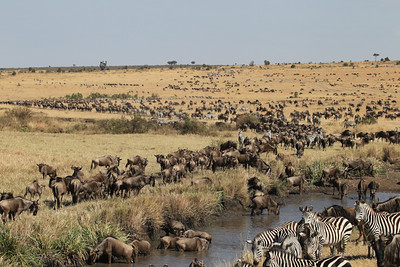 Wildebeest and Common Zebras