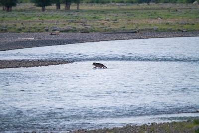 Wolf crossing the Lamar.