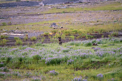 Wolf and lupine.
