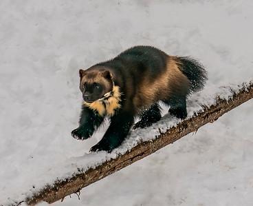 Wolverine on a Balance Beam