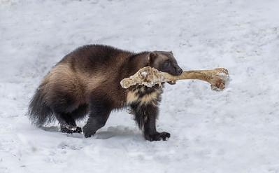 Wolverine Bone Bandit