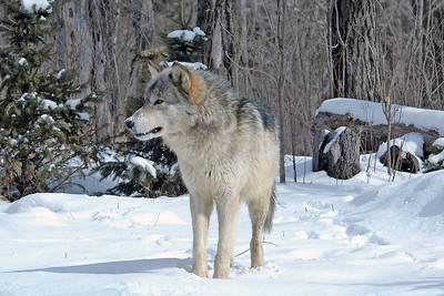 Timber Wolf-07