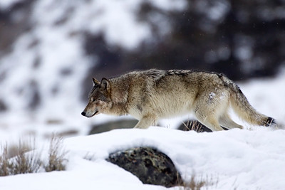 Wolf on the Prowl