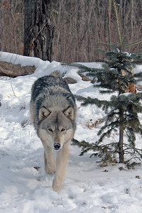 Timber Wolf-19