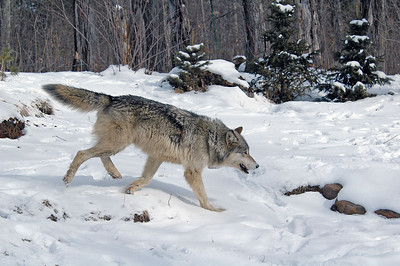 Timber Wolf-14