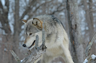 Timber Wolf-17