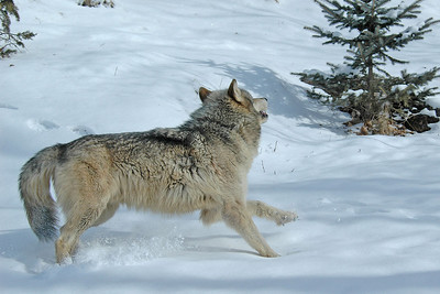 Timber Wolf-06