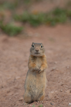 Wyoming Ground Squirrel-0021