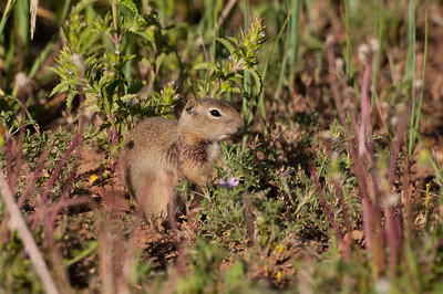 Wyoming Ground Squirrel-9948