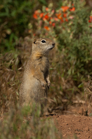 Wyoming Ground Squirrel-2581