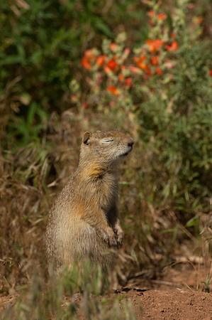 Wyoming Ground Squirrel-2585