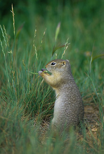 Wyoming Ground Squirrel-232107