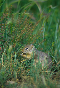 Wyoming Ground Squirrel-232106