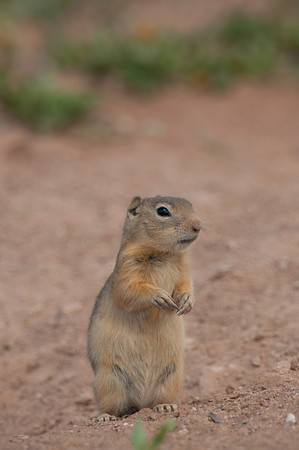 Wyoming Ground Squirrel-0019