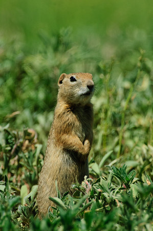 Wyoming Ground Squirrel-1999