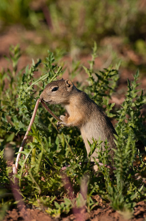 Wyoming Ground Squirrel-9945
