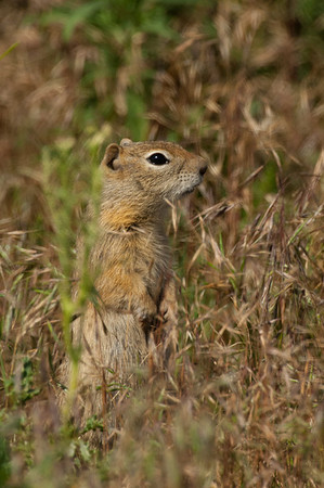 Wyoming Ground Squirrel-2571