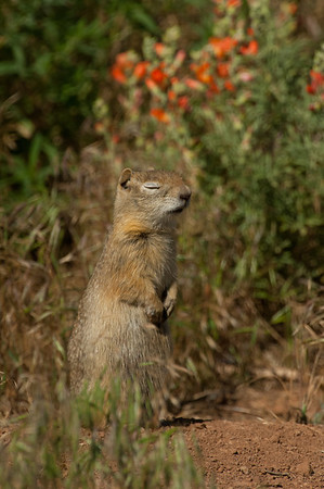 Wyoming Ground Squirrel-2590