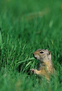 Wyoming Ground Squirrel-232104