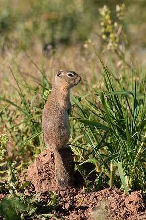 Wyoming Ground Squirrel-9953