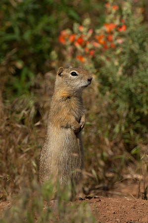 Wyoming Ground Squirrel-2575