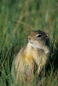 Wyoming Ground Squirrel-232099