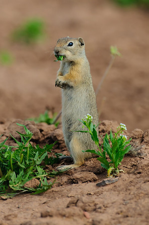 Wyoming Ground Squirrel-0042